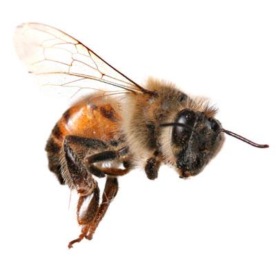 Alergia a la picadura de himenoptero